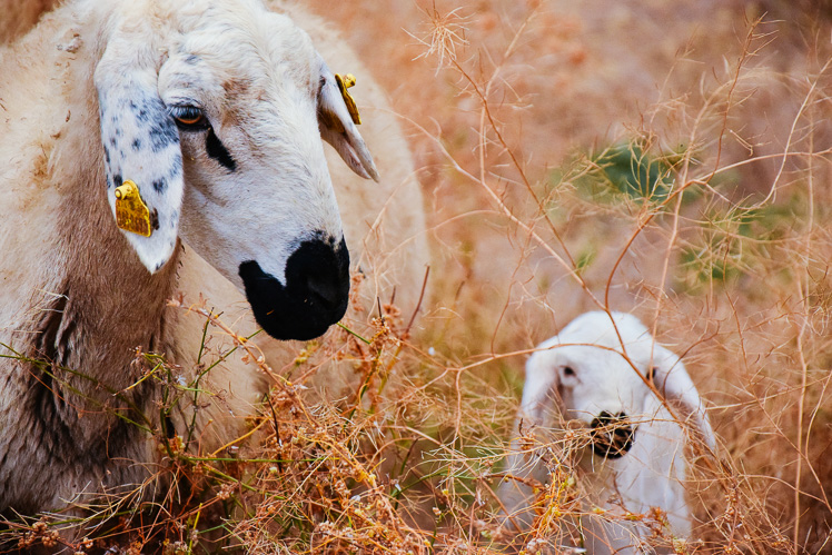 Owce! (fot. Asia)