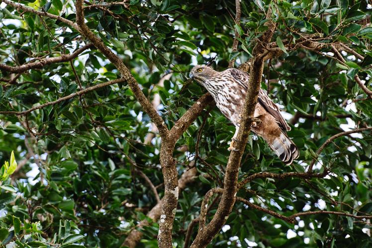 Ptaszysko orłowate (fot. Kuba Głębicki)