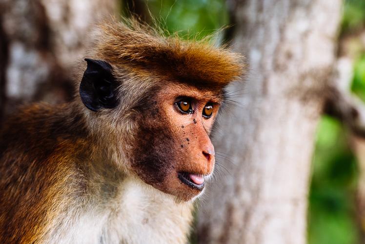 Małp zwany makakiem (fot. Kuba Głębicki)