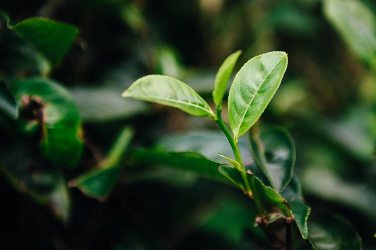 Tak rośnie herbata, fot. Kuba Głębicki