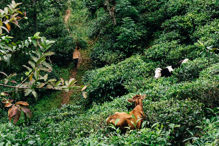 Krowy w herbacie, fot. Kuba Głębicki